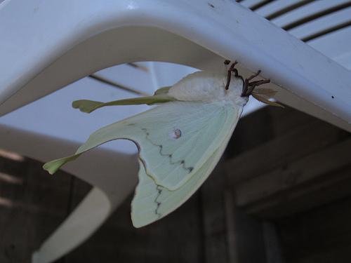 gigantor moth